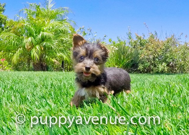 Levi is our Nice AKC Yorkshire Terrier Male Puppy