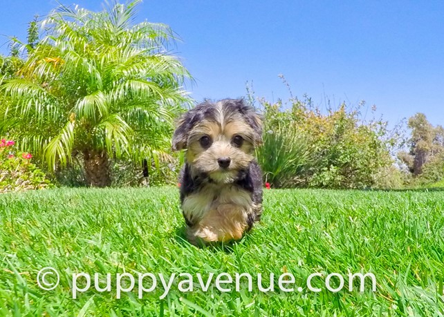 Pixie is our Gorgeous Morkie Hybrid Female Puppy