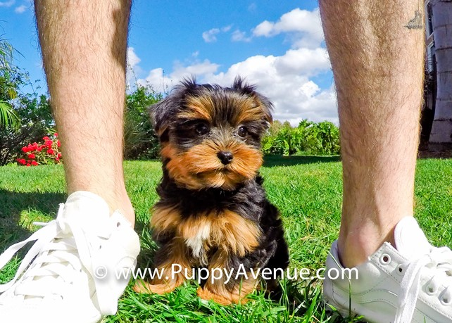 Fendi is our Perfect ACA Yorkshire Terrier Female Puppy