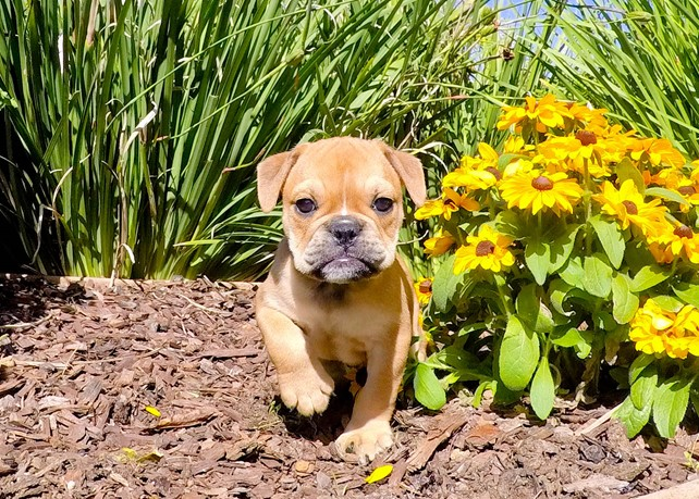 Dynasty is our Super Cute English Bulldog Female puppy