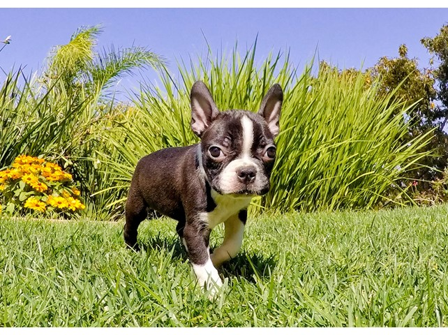 boston terrier san diego boston terrier puppies for sale in california san diego ca 9849