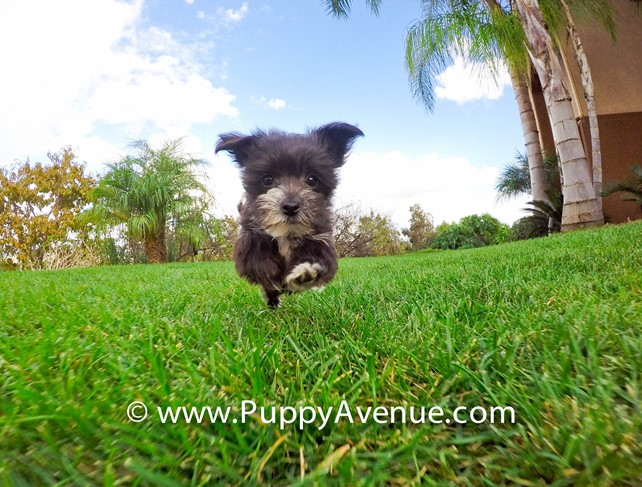 Super Tiny Onyx our Morkie hybrid Female Puppy