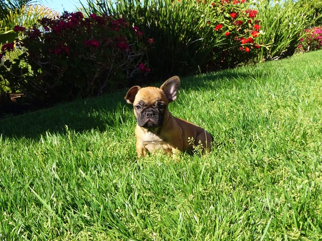 Soleil is our Gorgeous Female AKC Frenchie Puppy! 10