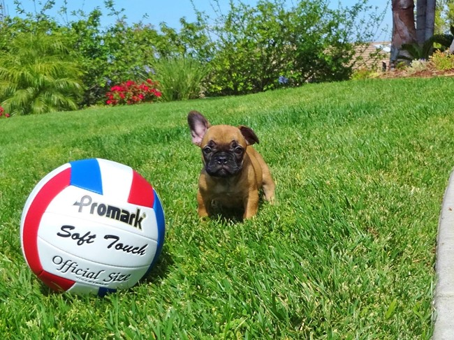 Soleil is our Gorgeous Female AKC Frenchie Puppy! 8