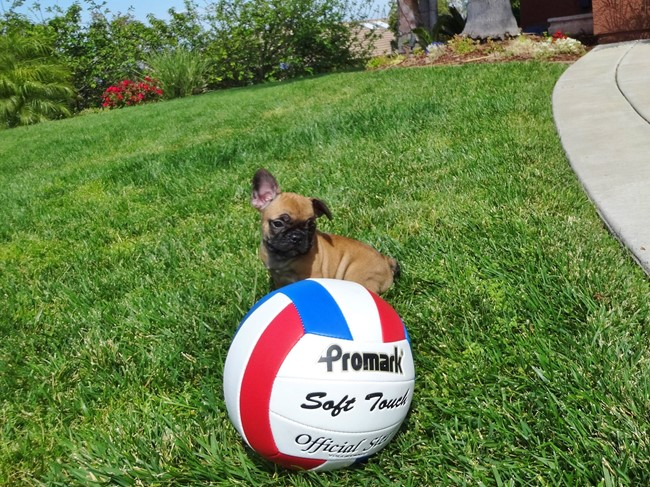 Soleil is our Gorgeous Female AKC Frenchie Puppy! 9