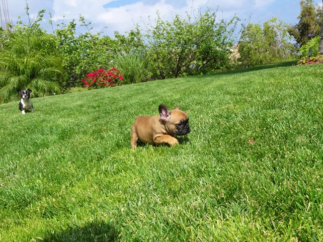 Soleil is our Gorgeous Female AKC Frenchie Puppy! 18