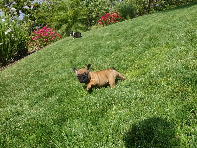 Soleil is our Gorgeous Female AKC Frenchie Puppy! 21