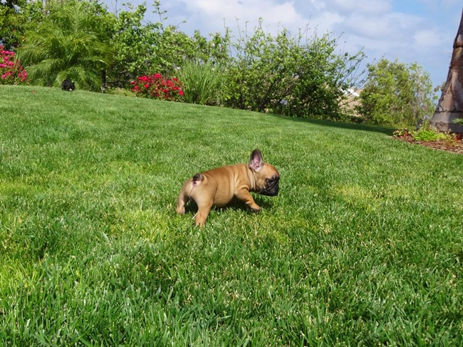 Soleil is our Gorgeous Female AKC Frenchie Puppy! 22