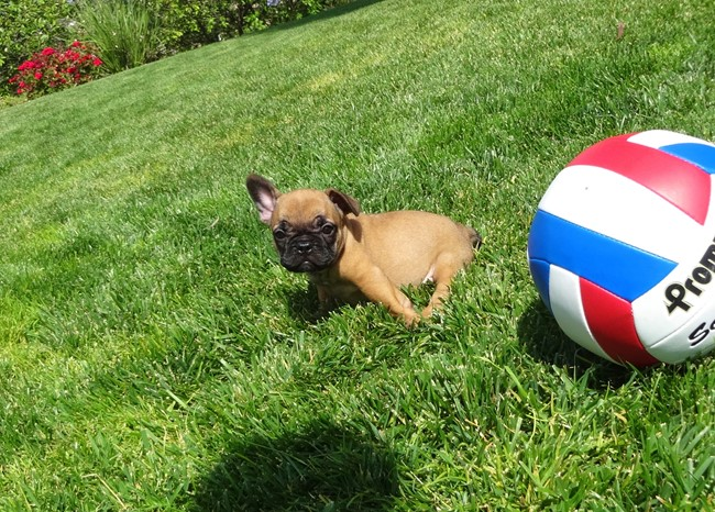Soleil is our Gorgeous Female AKC Frenchie Puppy! 23