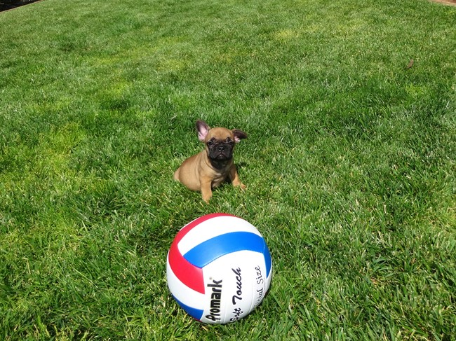 Soleil is our Gorgeous Female AKC Frenchie Puppy! 24