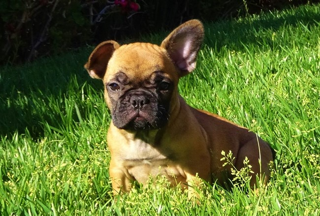 Soleil is our Gorgeous Female AKC Frenchie Puppy! 26