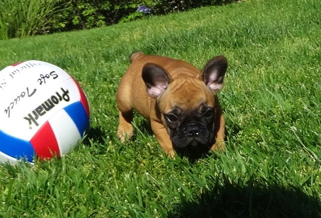 Soleil is our Gorgeous Female AKC Frenchie Puppy! 27