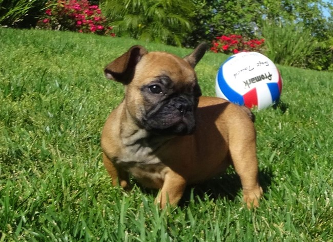 Soleil is our Gorgeous Female AKC Frenchie Puppy! 28
