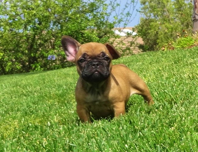 Soleil is our Gorgeous Female AKC Frenchie Puppy! 30
