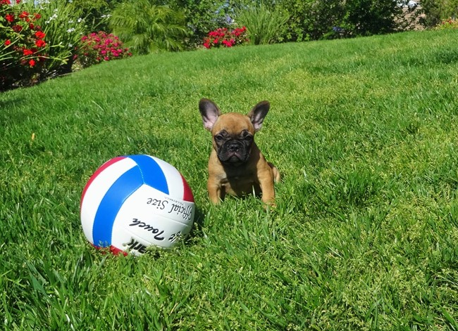 Soleil is our Gorgeous Female AKC Frenchie Puppy! 1