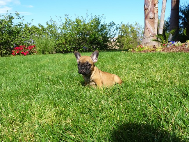 Soleil is our Gorgeous Female AKC Frenchie Puppy! 2