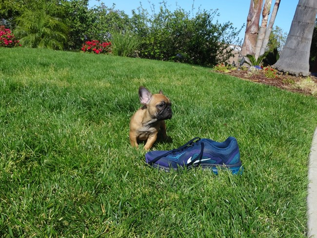 Soleil is our Gorgeous Female AKC Frenchie Puppy! 3