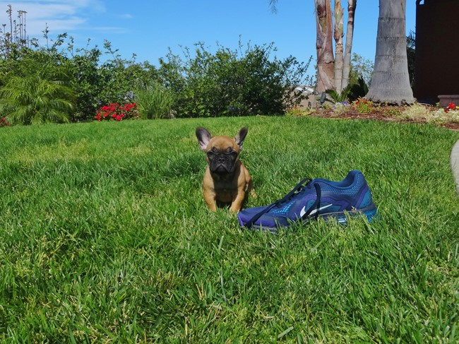 Soleil is our Gorgeous Female AKC Frenchie Puppy! 4