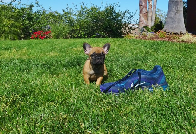 Soleil is our Gorgeous Female AKC Frenchie Puppy! 5