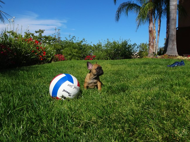 Soleil is our Gorgeous Female AKC Frenchie Puppy! 6
