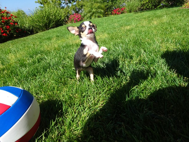 Denali is our TINY Female AKC Chihuahua Puppy !! 3