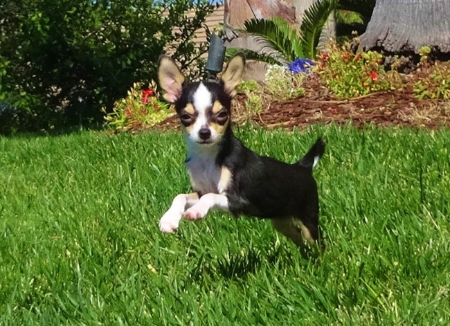 Denali is our TINY Female AKC Chihuahua Puppy !! 10