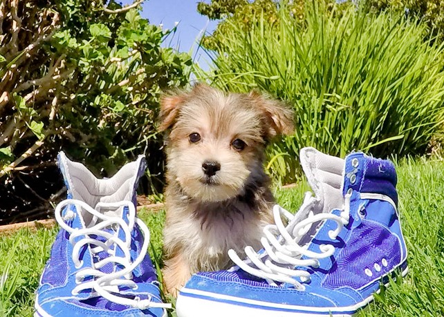 Damon is our Precious Morkie Male Hybrid Puppy