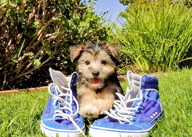 Axel is our Adorable Morkie Male Hybrid Puppy