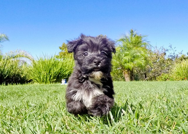 Dolly is our Stunning Morkie Hybrid Female Puppy