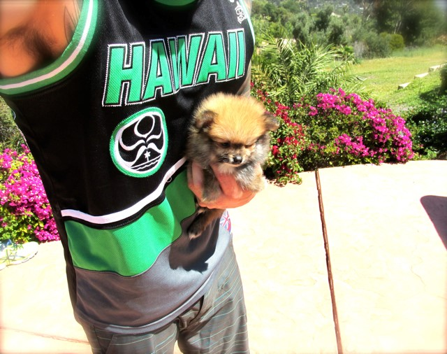 Teacup Hawaii is our ACA reg Pomeranian Female Puppy 14