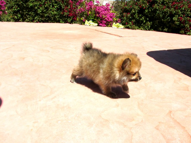 Teacup Hawaii is our ACA reg Pomeranian Female Puppy 16