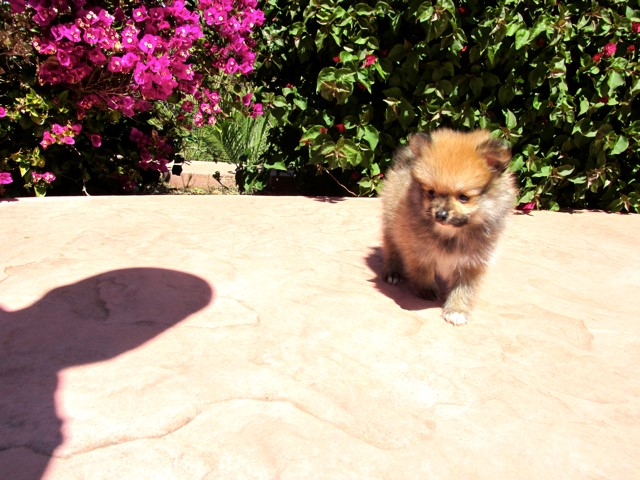 Teacup Hawaii is our ACA reg Pomeranian Female Puppy 18