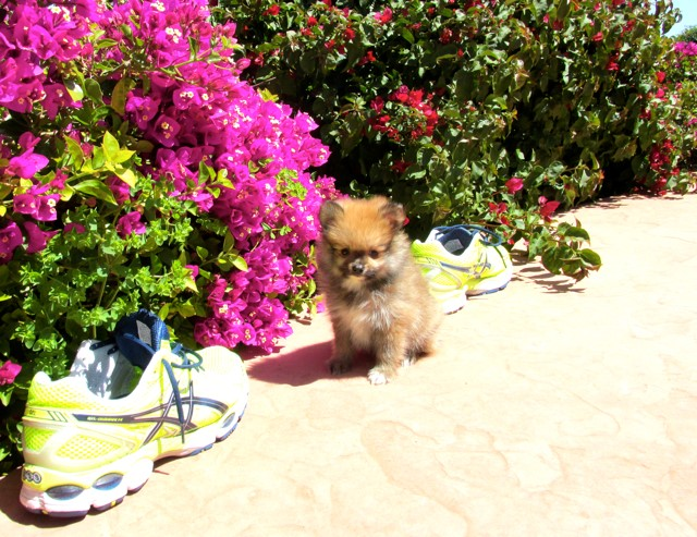 Teacup Hawaii is our ACA reg Pomeranian Female Puppy 20
