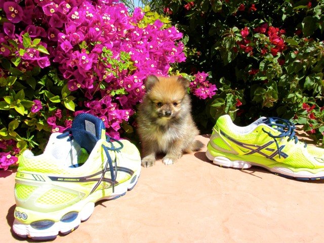 Teacup Hawaii is our ACA reg Pomeranian Female Puppy 8