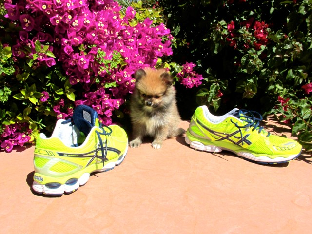 Teacup Hawaii is our ACA reg Pomeranian Female Puppy 9
