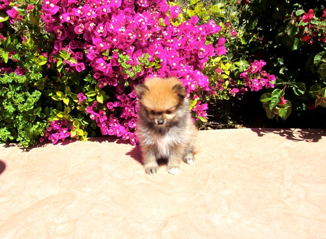 Teacup Hawaii is our ACA reg Pomeranian Female Puppy 11