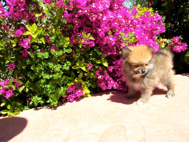 Teacup Hawaii is our ACA reg Pomeranian Female Puppy 12