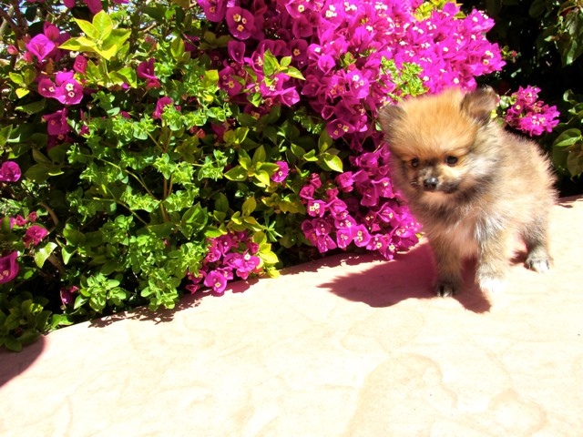 Teacup Hawaii is our ACA reg Pomeranian Female Puppy 13