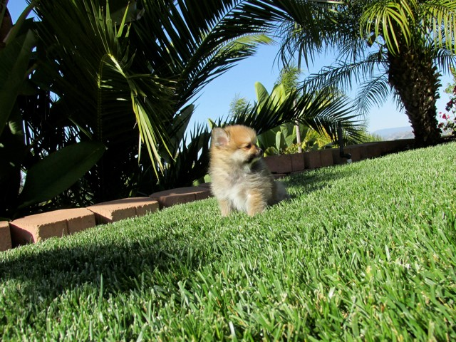Teacup Hawaii is our ACA reg Pomeranian Female Puppy 5