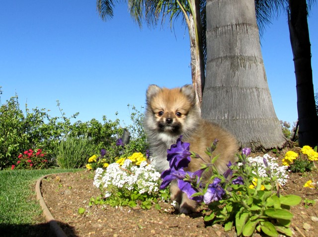 Teacup Hawaii is our ACA reg Pomeranian Female Puppy 6