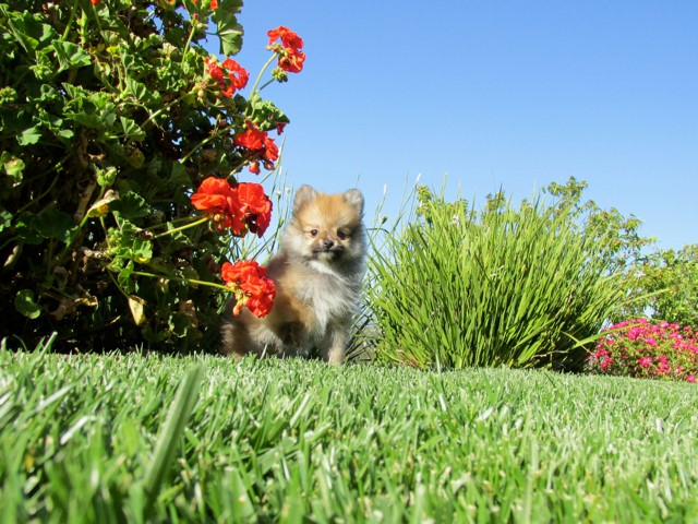 Teacup Hawaii is our ACA reg Pomeranian Female Puppy 7