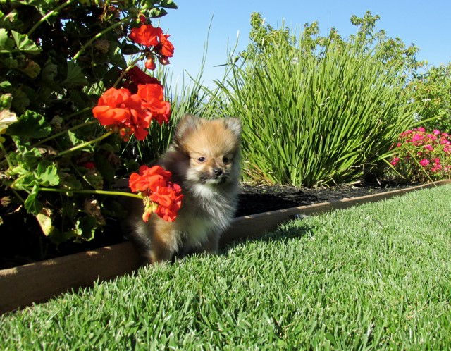 Teacup Hawaii is our ACA reg Pomeranian Female Puppy 2