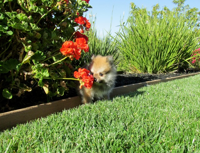 Teacup Hawaii is our ACA reg Pomeranian Female Puppy 3