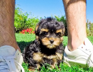 Yorkie Poo Puppies For In