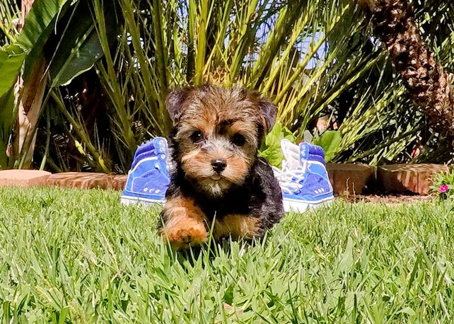 Alexis is our stunning Yorkshire Terrier Female Puppy
