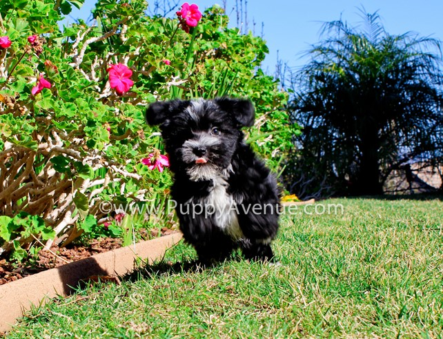 TItan is our adorable little Morkie Male Hybrid Puppy