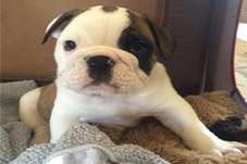 Loki English Bulldog