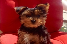 Angelo (Tully) Yorkshire Terrier