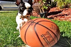 Brodie now Tiesto Boston Terrier
